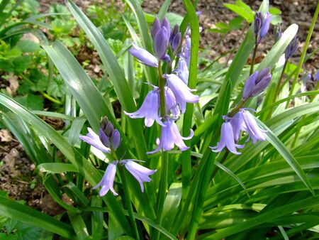 some wild Blue Bell flowers growing in wood area