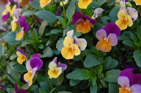 some potted garden flowers - purple and yellow.  Penny Violets