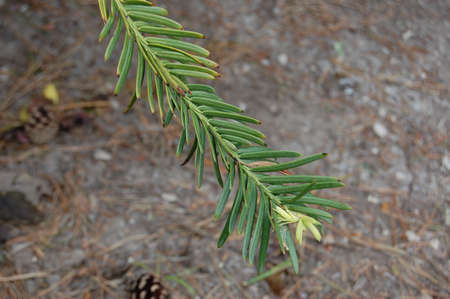 a part of a tree leaf  branch. pine tree        Stock Photo