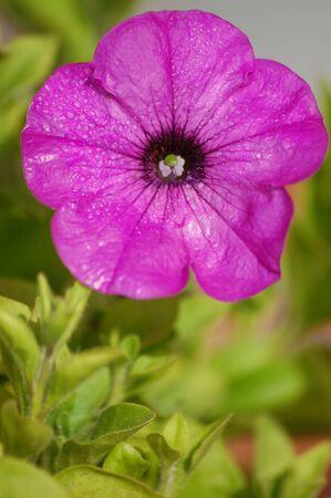 petunia wild: close up of a pink Petunia garden flower