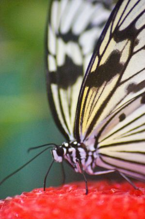 large butterfly species from the amazon area of the world Stock Photo - 1171467
