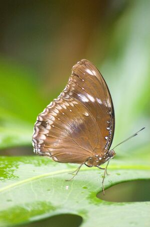 large butterfly species from the amazon area of the world