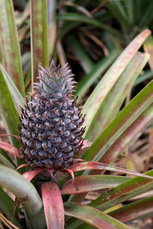 Young Pineapple Zdjęcie Seryjne