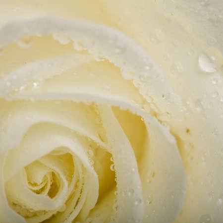 witte roos met dauwdruppels Stock Photo