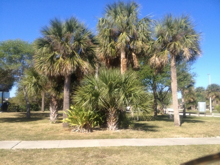 cocoa beach: An abundance of palm trees in Cocoa Beach Florida