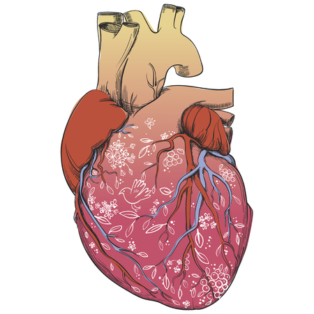 heart - anatomy picture
