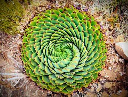 スパイラル アロエ アロエ polyphylla レソトの国民の植物 写真素材