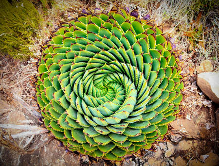 spirals: Spiral Aloe  Aloe polyphylla  the national plant of Lesotho Stock Photo