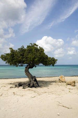 Divi tree on Eagle beach, Aruba , Caribbean Archivio Fotografico