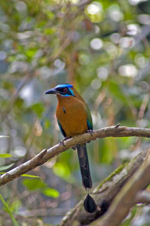 coraciiformes: The motmots or Momotidae are a family of tropical birds in the near passerine order Coraciiformes, which also includes the kingfishers, bee-eaters and rollers. This one was seen in Tobago