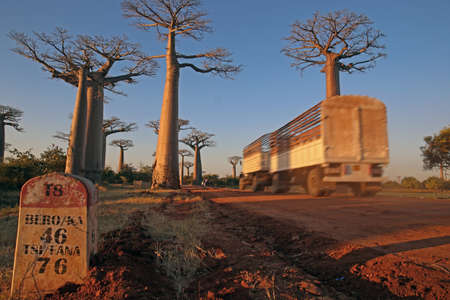 Alley of the baobabs, north of Morondava, Menabe region, Toliara province, Madagascar: a tree-lined boulevard in dusty the middle of nowhere Stock Photo