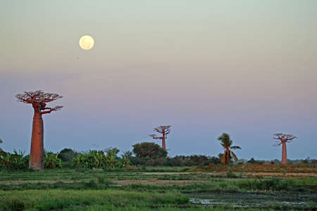 Baobab at sunset with full moon
