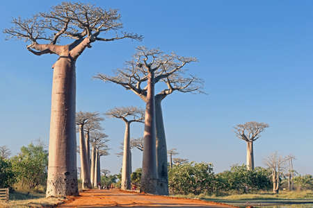 Alley of the Baobabs, north of Morondava, Menabe region, Toliara province, Madagascar: a tree-lined dusty boulevard in the middle of nowhere - baobabs - Adansonia grandidieri