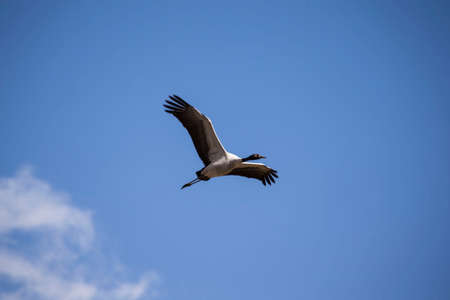 Black necked crane Stock Photo