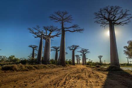 마다가스카르의 서쪽에있는 바오 바브 나무