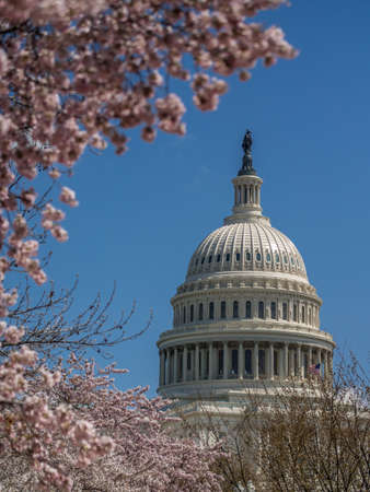 The Capitol building dome and cherry blossoms in spring Stock Photo