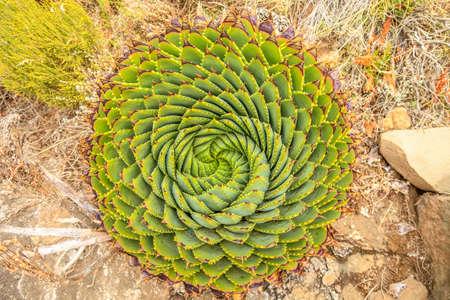 スパイラルアロエ - レソトの伝統的な植物 写真素材 - 100859807