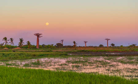 Beautiful Baobab trees at sunset at the avenue of the baobabs in Madagasca Foto de archivo