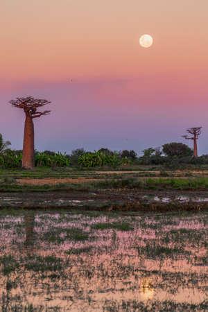 Moon over baobab trees at dawn, Madagascar
