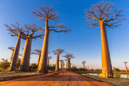 Section of a dirt road between Morondava and Belon'i Tsiribihina in the Menabe region with prominent baobabs trees
