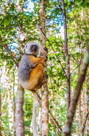 Lemur rests in a tree in a rain forest in Madagascar