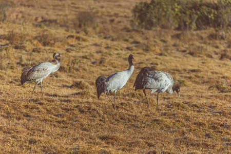 Three black-necked cranes looking for food