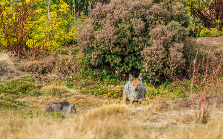 Simien Wolf (Canis simensis) in Bale Mountains
