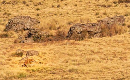 Rare northern Ethiopian wolf charging