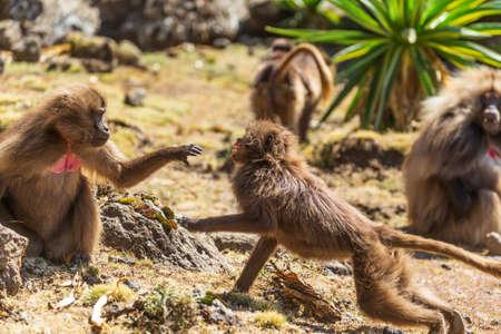 Zwei Affen mit blutendem Herzen kämpfen