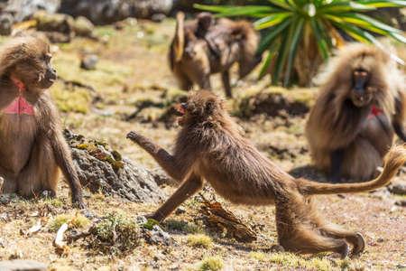 Two bleeding heart monkeys fighting Standard-Bild