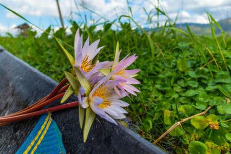 Lotus for silk production on Inle Lake, Myanmar