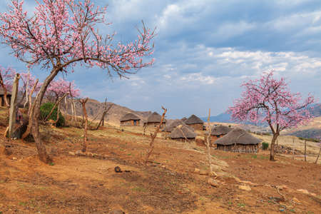 Traditional basotho hut with blooming peach trees
