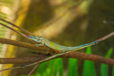 Chameleon with colourful nose (male) 免版税图像