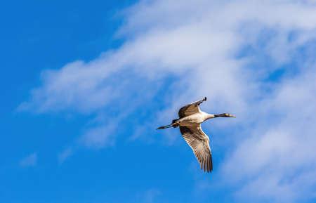 Black-necked crane flying over Phobjikha valley, Bhutan