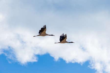 Black-necked crane couple flying over Phobjikha valley, Bhutan Archivio Fotografico