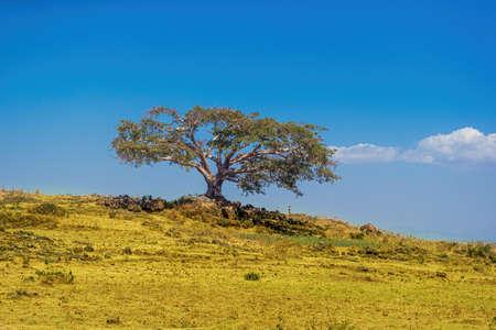 Ancient single tree in Ethiopian landscape