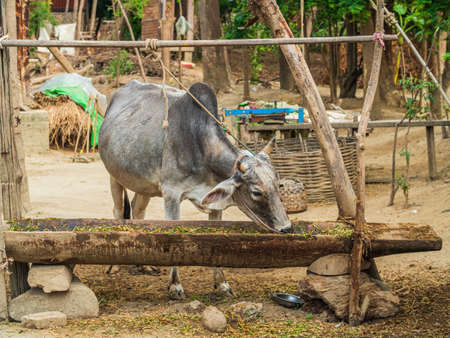 Attached cow beeing fed in a small town at Irrawaddy river, Myanmar Archivio Fotografico