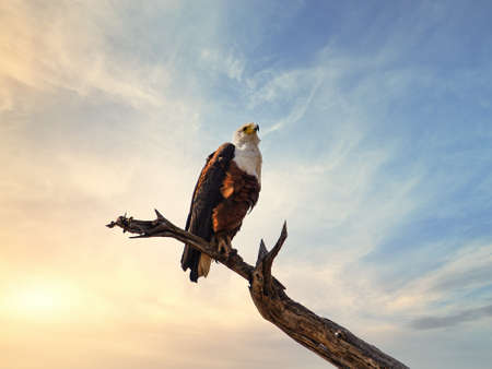African Fish Eagle at the Kruger National Park, South Africa