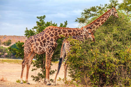 Two Giraffes nibbling on a bush in Kruger National Park, South Africa Archivio Fotografico