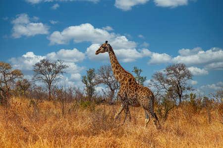 Giraffe walking through the grasslands of Kruger National Park, South Africa