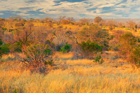 Two Giraffes hiding in the bushes in Kruger National Park, South Africa Archivio Fotografico