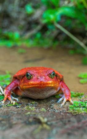 A Tomato frog (Dyscophus Antongilii) Imagens