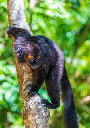 Black lemur (Eulemur macaco) on a tree Imagens
