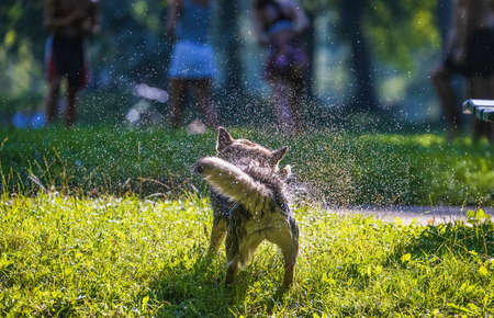 Wet dog shakes off water Imagens