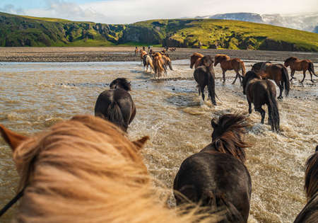 Icelandic horses crossing a river