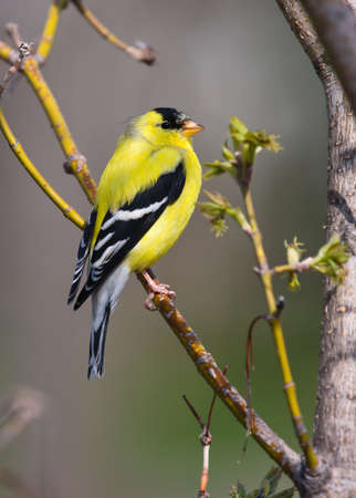 Goldfinch Perched Imagens