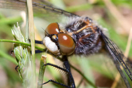 Common Darter Dragonfly hanging on to grass.