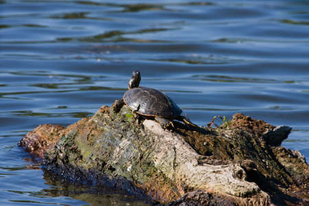 rotting: Painted Turtle floating on a rotting log. Stock Photo