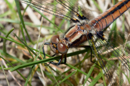 Common Darter dragonfly hanging on to grass blades. Фото со стока
