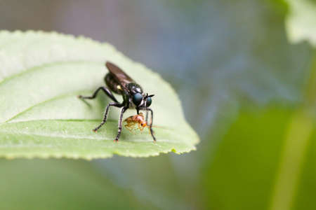 A very creepy look at a fly sucking the insides out of a bug.